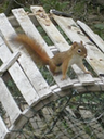 Red Squirrels play and chatter in the trees